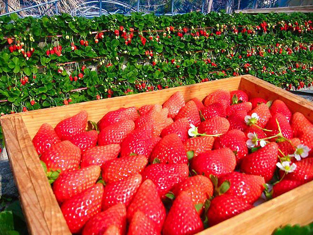 イチゴと向日葵、セットで楽しめる「常吉いちご園」
