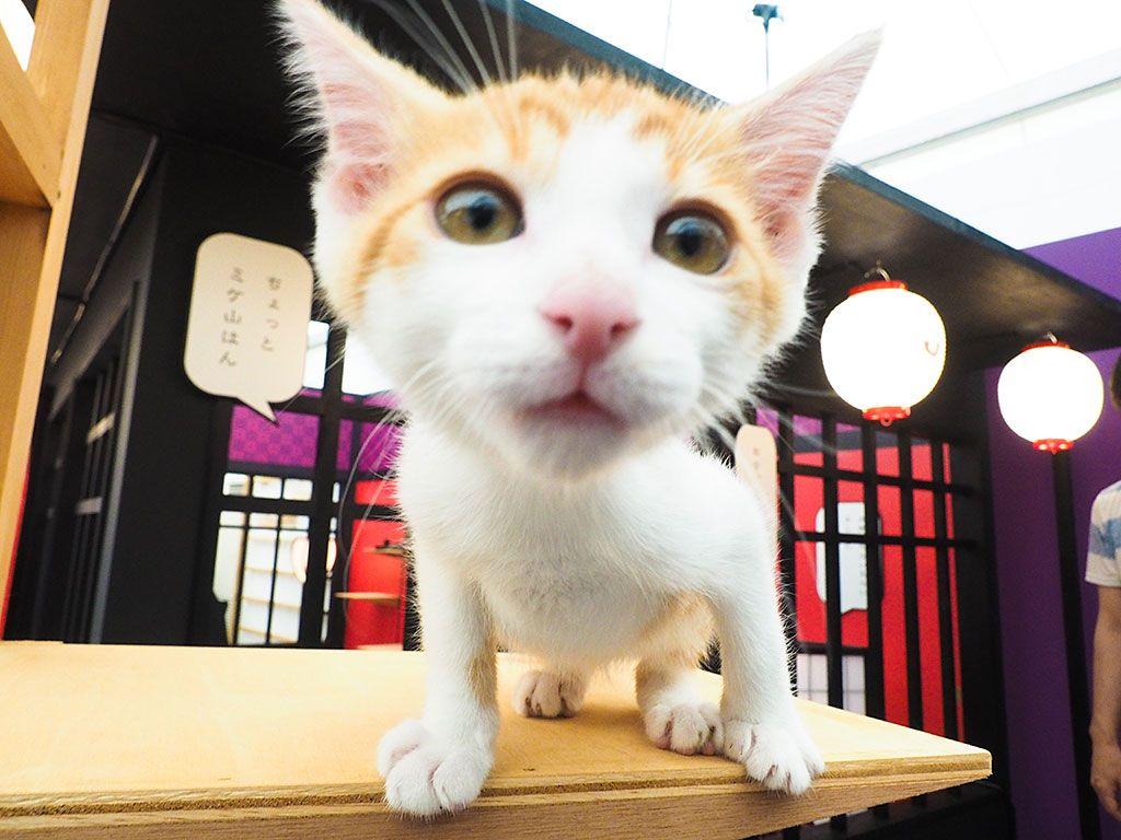両国駅すぐ!江戸時代の猫カフェ「江戸ねこ茶屋」で癒やされよう