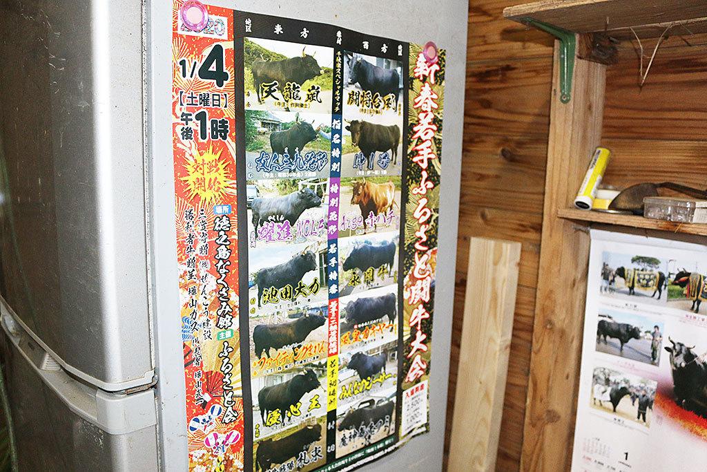 モーモーパラダイス、徳之島の闘牛あるある