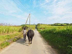 徳之島のちょっと可愛い闘牛に癒されたい!500年で初のふれあい体験
