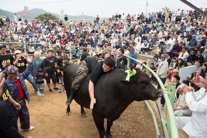 500年の歴史を誇る、闘牛パラダイス徳之島