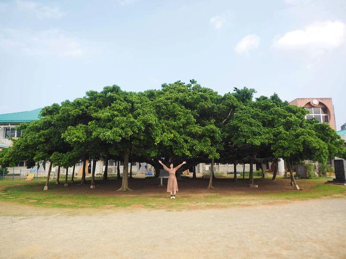 日本一かわいいガジュマルの木に会いに行く