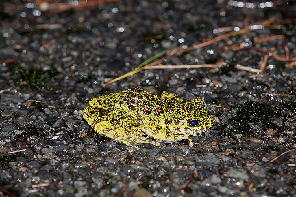 金作原で出会える、日本一美しいカエル