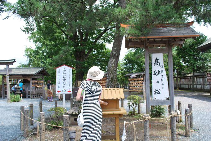 【癒】阿蘇神社のえんむすびの松「高砂の松」
