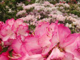 西日本最大級の2万本の花が圧巻!大分県大山しゃくなげ園