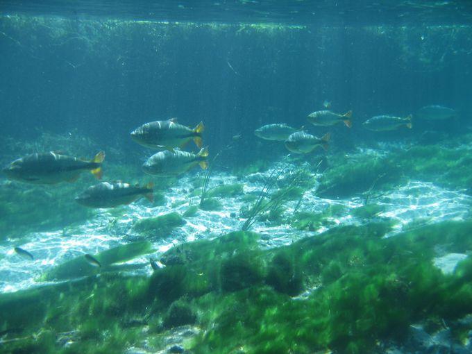 「天然の水族館」と称されるボニートの湧水