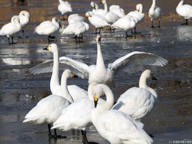 冬の安曇野観光のハイライト!白鳥の池・御宝田遊水池で白鳥観察!