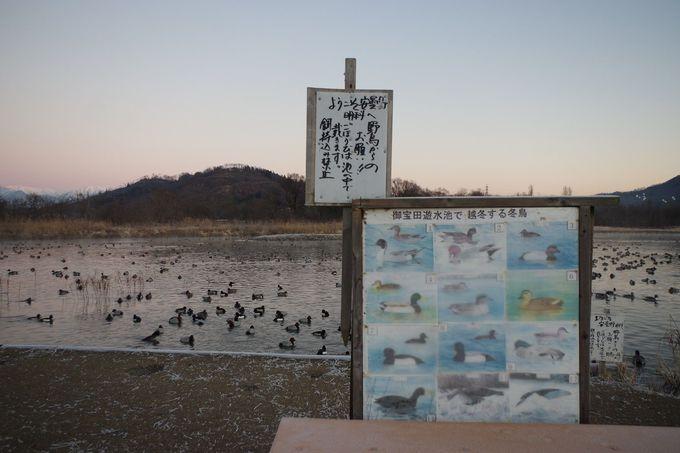 餌付けは禁止!白鳥観察時のNG事項