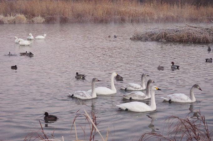 冬の安曇野観光は白鳥観察!