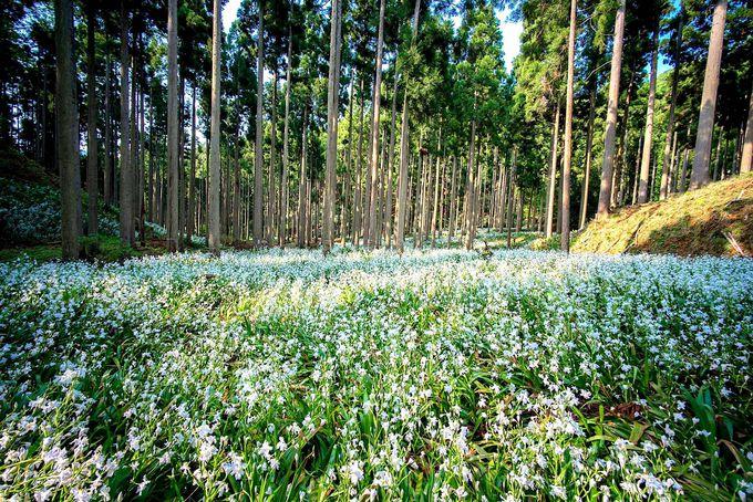 日本でここだけ?大トチと神秘的なシャガ・ミツマタの群生地