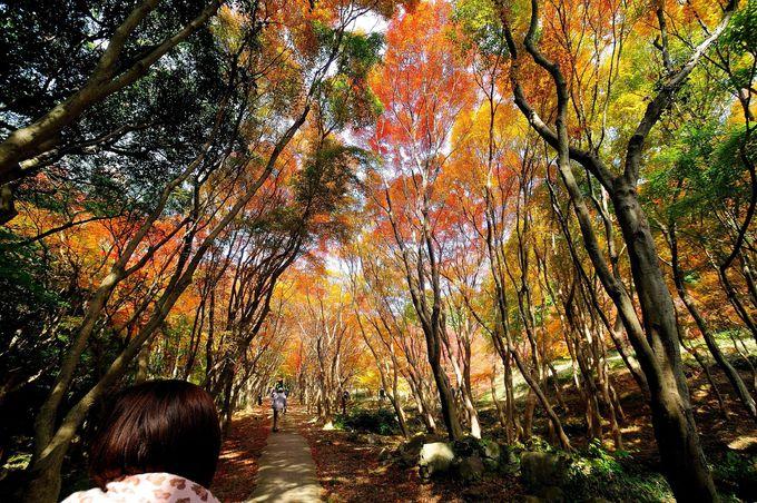 山頂につづく散策路は紅葉のトンネル!!