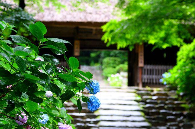 西日本一のあじさい寺〜-防府市・阿弥陀寺