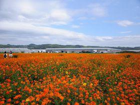 まさに「花の海」! 山口県・西日本最大級のシステム農場で広大な花畑を満喫