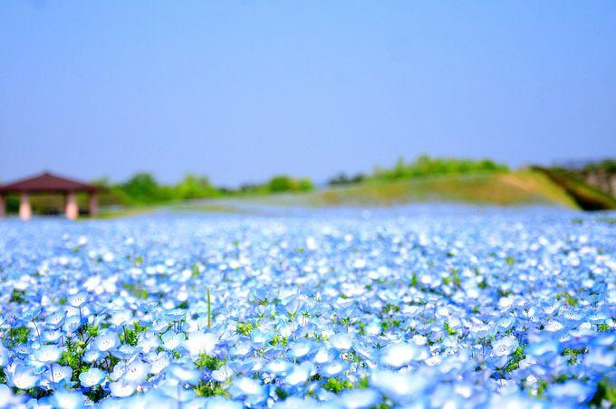 淡い青色が一面に広がるネモフィラの絨毯