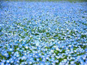 ネモフィラ絨毯は九州でも楽しめる!! 福岡「海の中道海浜公園」