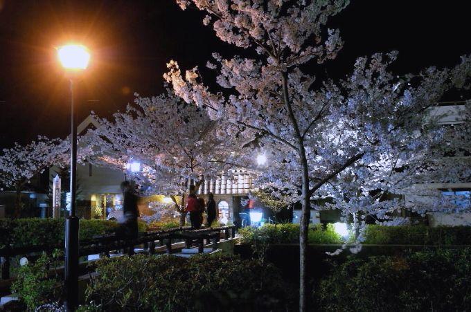 3、山口市内を流れる「一の坂川」の桜並木