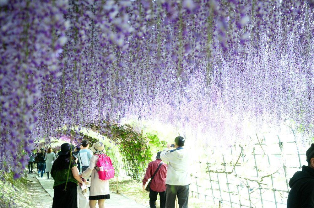 絶景!「河内藤園」藤のトンネル