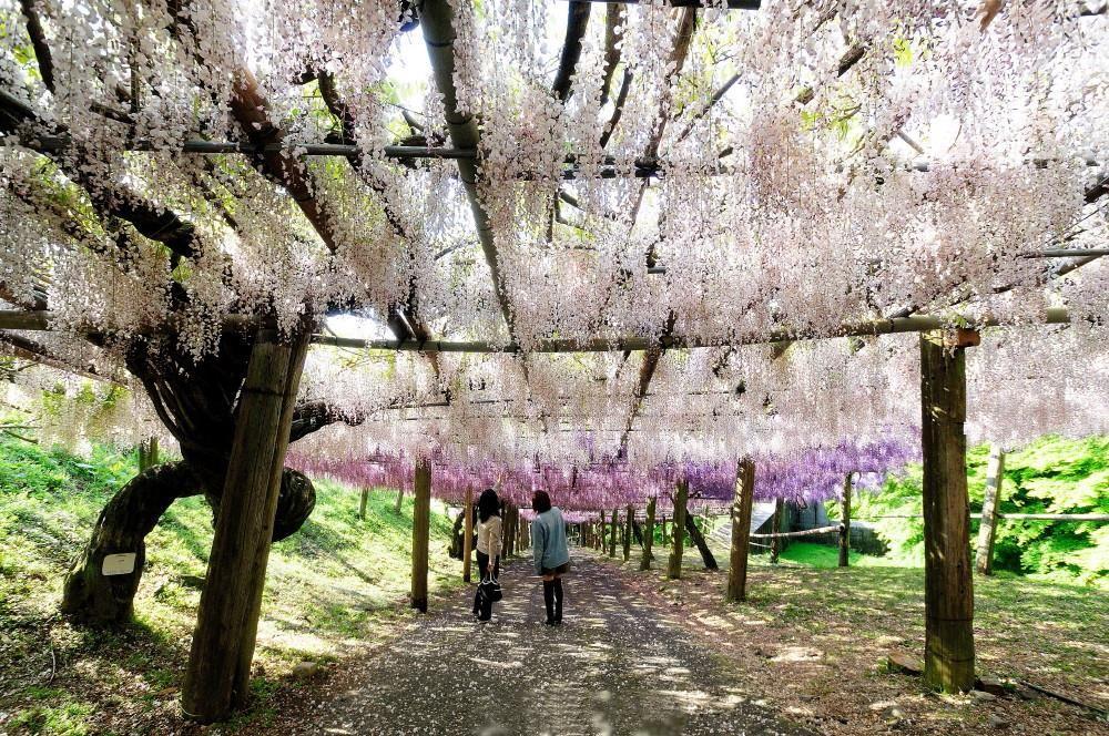 どこを歩いても藤の花