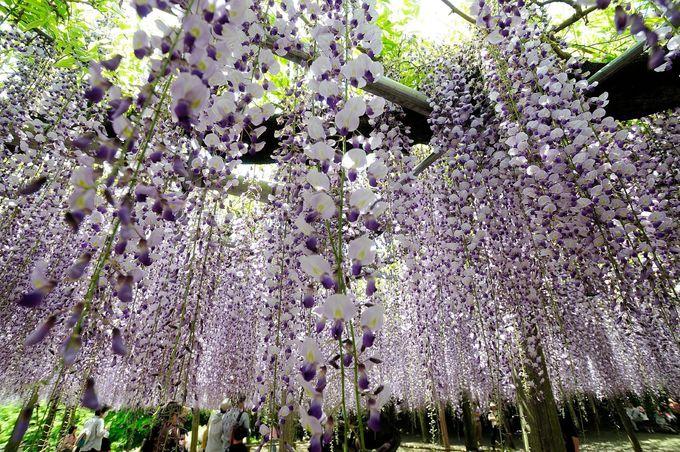 3.「河内藤園」藤の絶景