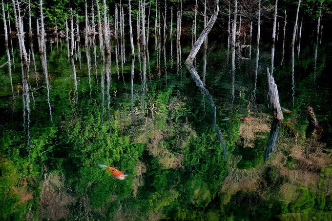 フォトジェニックな景色が見られる下関の隠れ観光スポット「一の俣桜公園・蒼霧鯉池」