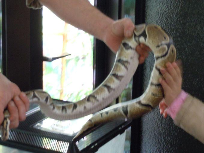 日替わりで爬虫類達と触れ合えます。
