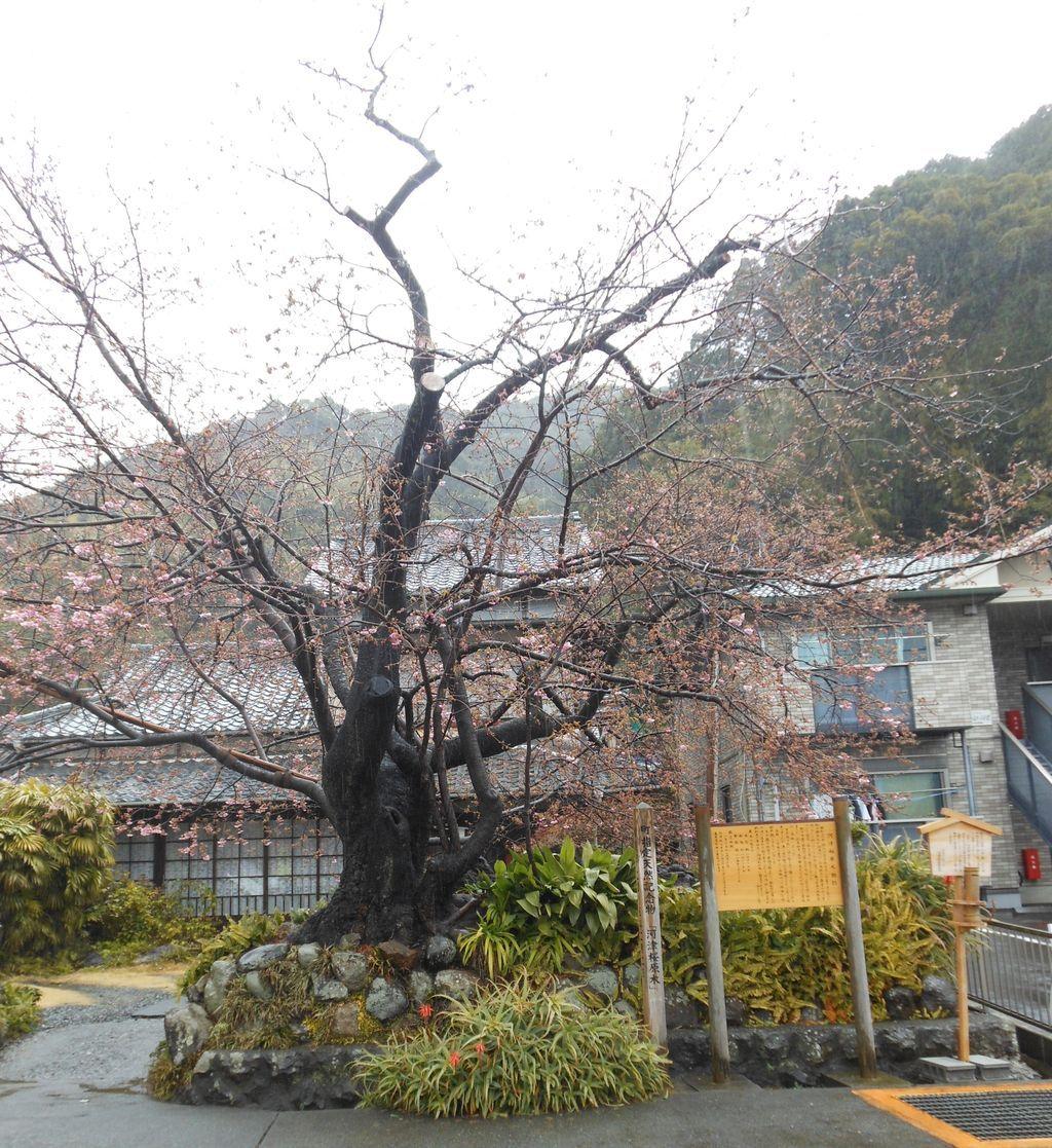 河津桜の原点!
