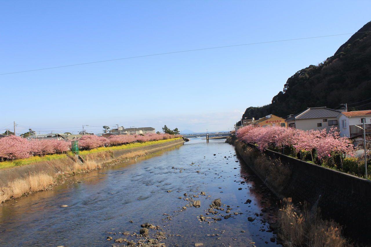 河畔を染め上げる河津桜