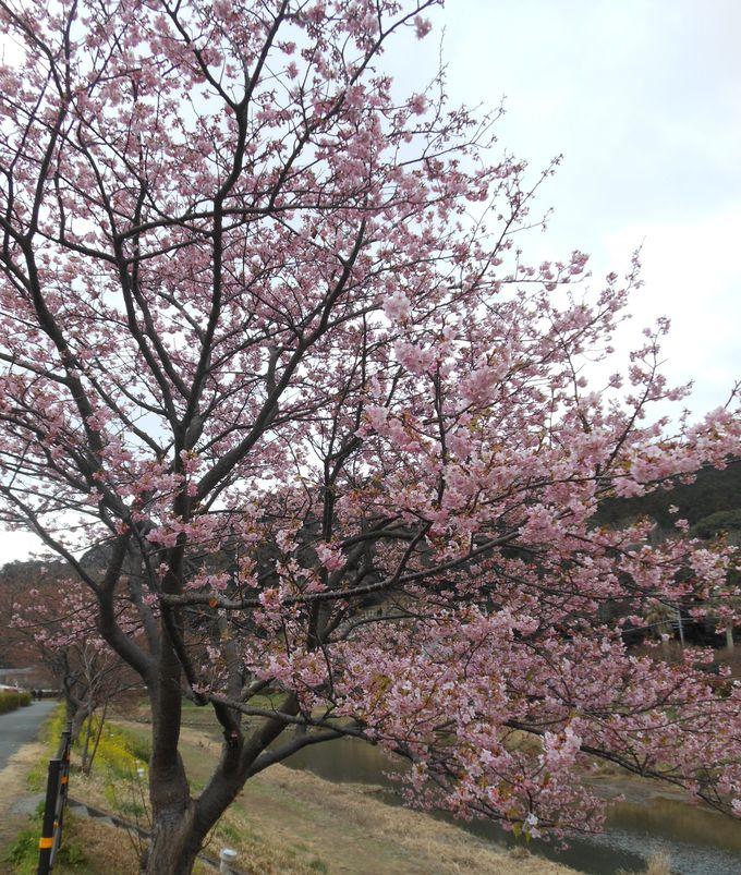 イベント盛りだくさん!みなみの桜と菜の花まつり