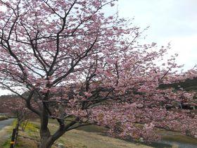 一足早く南伊豆町へ春を迎えに出かけませんか?「みなみの桜と菜の花まつり」