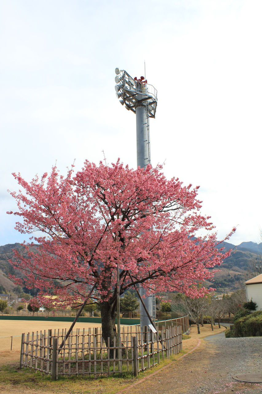 伊豆土肥桜の古木