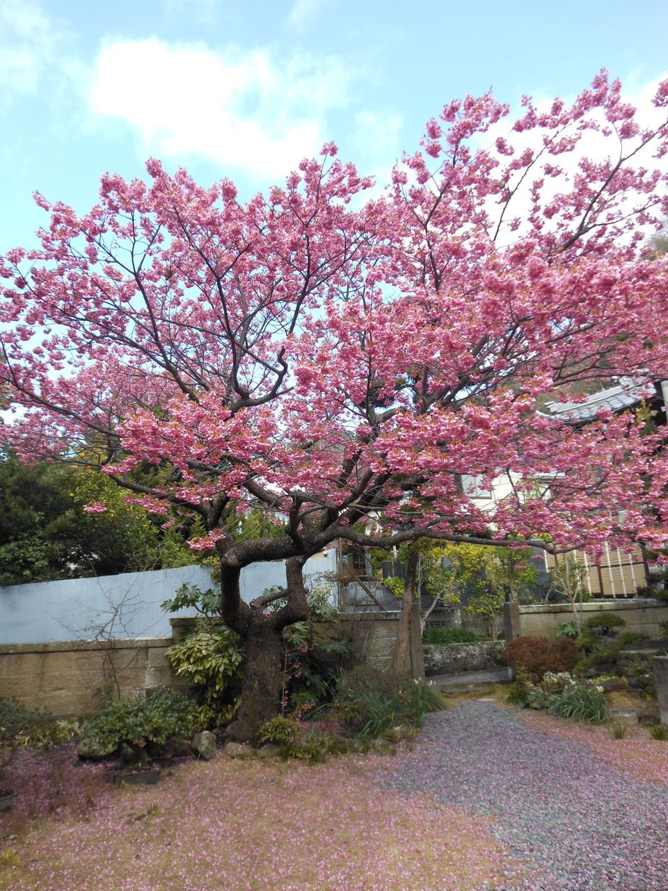 境内に咲き誇る桜
