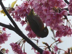 濃いピンク色の伊豆土肥桜!穴場スポットにお出かけしませんか?〜伊豆市土肥〜