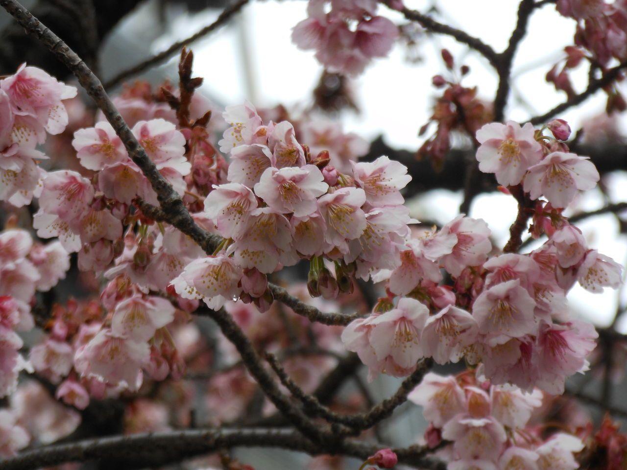 鈴なりに咲く、あたみ桜