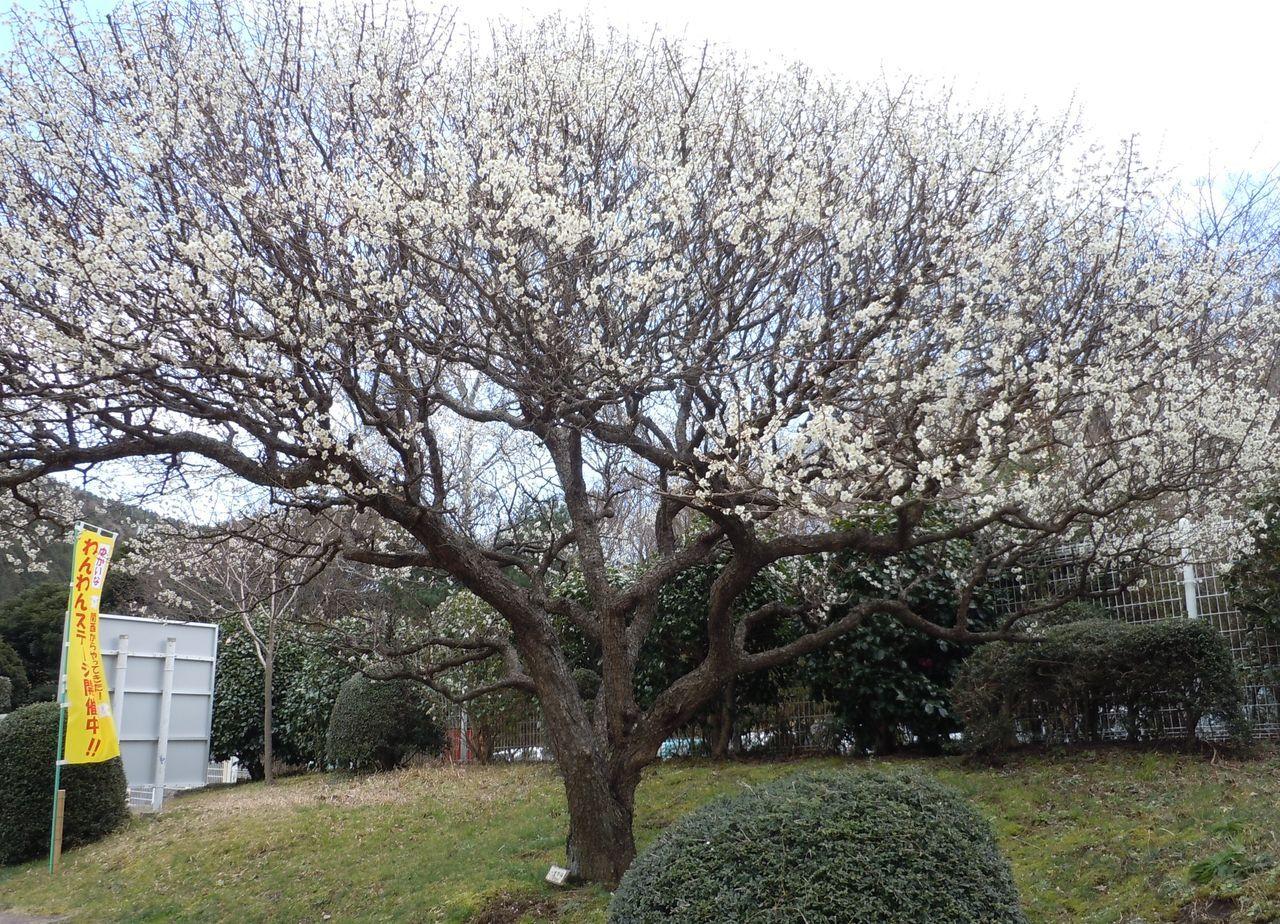 見事な花を咲かせる梅の木