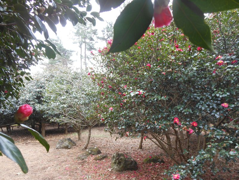 伊豆随一!360度の絶景と1000種4000本の椿が咲く「小室山」〜伊東市