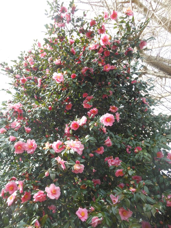 椿を見るお勧めの時期は2月初旬から3月末