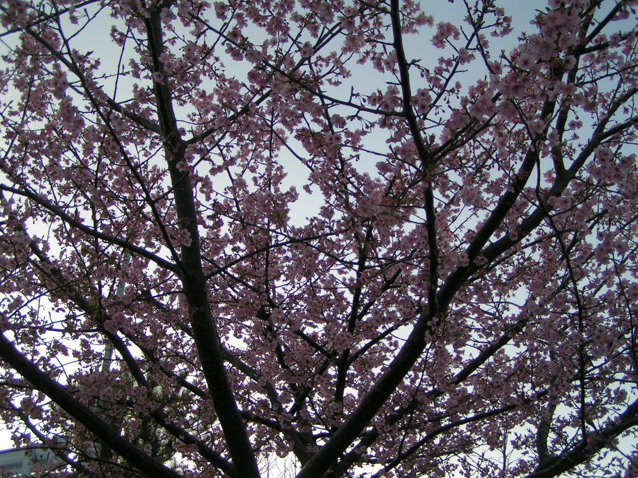 伊豆半島有数の桜の名所「伊豆高原桜並木」と伊東市周辺の桜のお勧めスポット!
