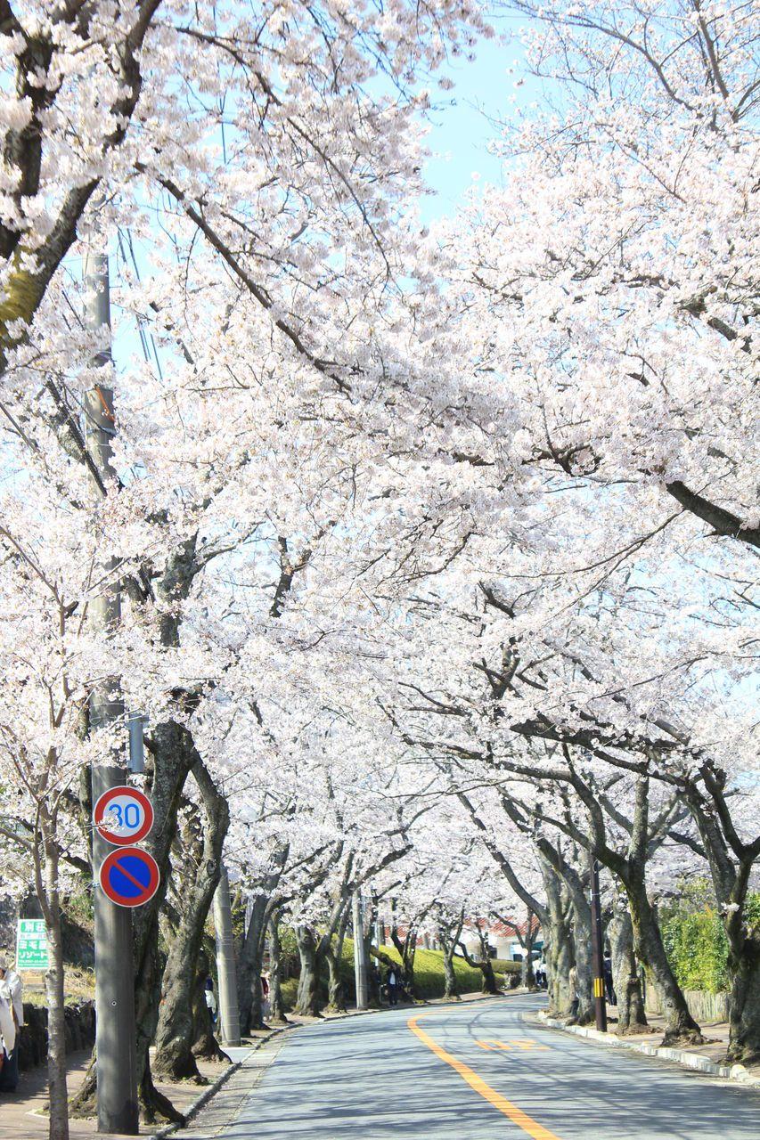 伊豆高原の春の風物詩