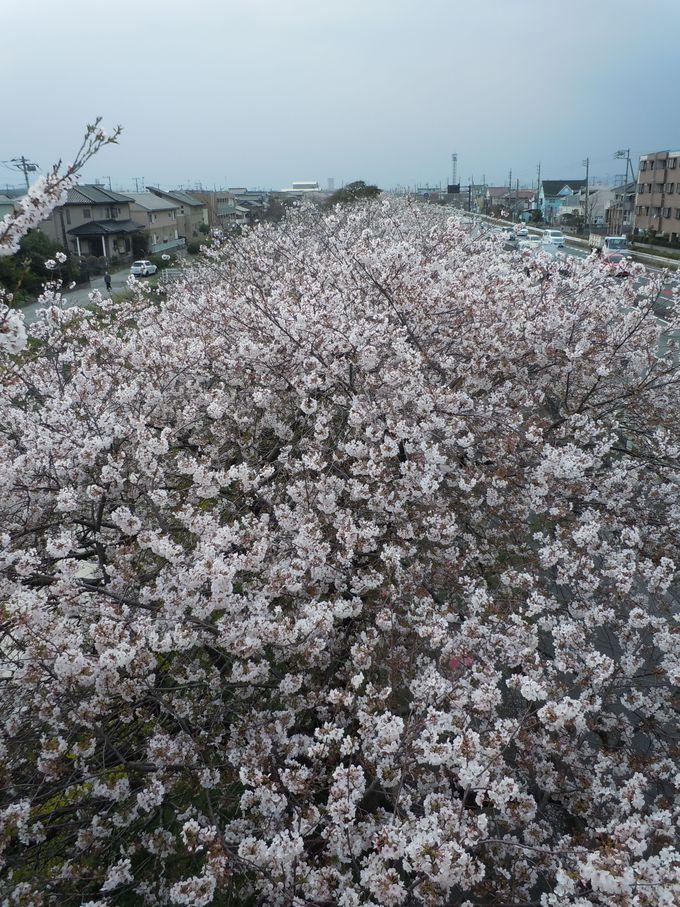 お勧め!桜のビュースポット