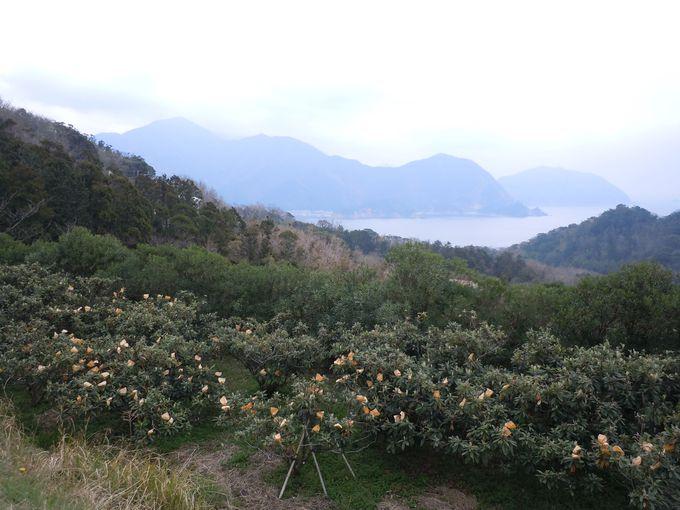 幻の白びわ畑は、恋人たちのデートスポット「恋人岬」の近くにある!
