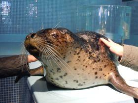 間近で見れる「アザラシショー」が凄い!!下田海中水族館