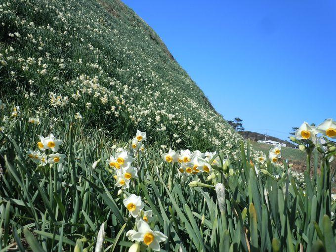 まさに白の景色!!白亜の灯台+水仙の白(静岡県下田市)