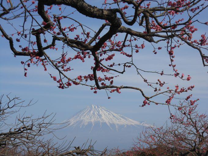 富士山絶好撮影スポット!静岡・富士市「岩本山公園」の梅