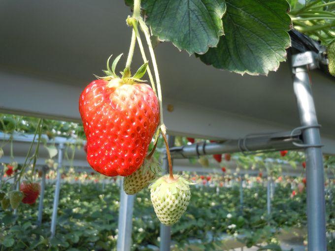 甘〜い、苺に出会いたいのなら・・・
