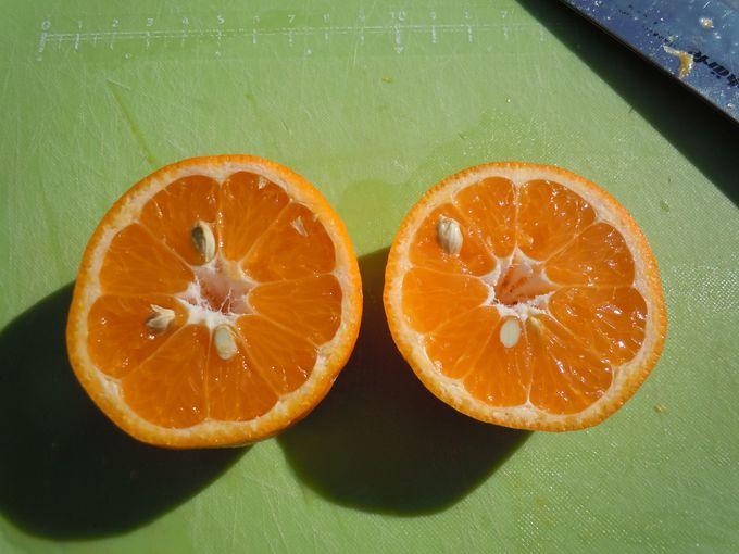 みかん狩り・オレンジ狩りは食べ放題!しかも、時間無制限!!