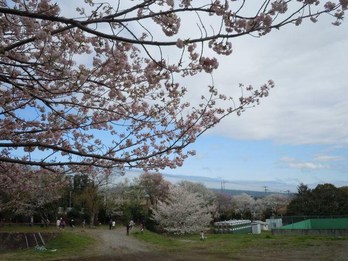 ここ一カ所で日本全国の桜が見られる!とっておきの場所
