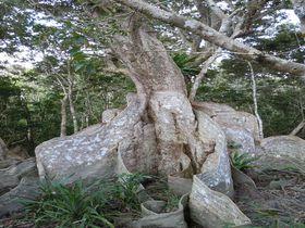 森の巨人に逢いに行こう!西表島「仲間川マングローブクルーズ」