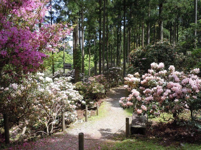 1万3千本咲く石楠花まつり!伊豆湯ヶ島・道の駅「天城越え」