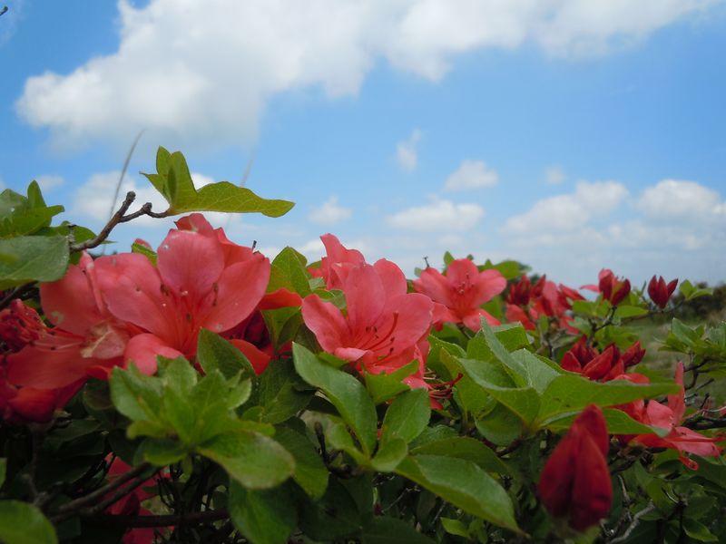 日本固有の希少なつつじが咲く!南伊豆「長者ヶ原山つつじまつり」