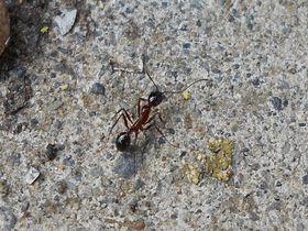 蟻コレクター必訪!南伊豆町伊浜の新種「イハマアシナガアリ」を探せ